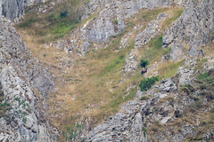 IMG_7470 Espagne - Ours brun - Ursus arctos pyrenaicus (fabianvol) Tags: paysage landscape paisaje espagne spain espaa prairie grassland pastizal montagne mountain montaa animal mammifre mammal mammalia mamfero carnivore carnivora carnvoro ours brun bear oso