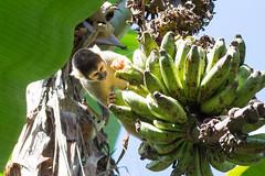 3/4 Black-headed Squirrel Monkey..Singe cureuil de Bolivie ..Saimiri boliviensis (geolis06) Tags: geolis06 prou peru per amriquedusud southamerica manu amazonie amazonia rainforest jungle fort forest madrededios biospherereserve parcnationaldeman mannationalpark 2016 patrimoinemondial unesco unescoworldheritage unescosite pantiacollatour nikon nikond7200 sigma sigma150600mmf563dgoshsmcontemporary primate monkey singe samirissaimiri boliviensisblackheaded squirrel monkeysingecureuil pruviensingessamiris saimiriboliviensis blackheadedsquirrelmonkey squirrelmonkey sapajou sapajouttenoire singecureuilpruvien