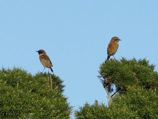 Stonechat Couple