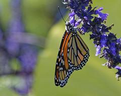 Monarch_SAF2515_DxO (sara97) Tags: danausplexippus butterfly copyright2016saraannefinke flyinginsect insect missouri monarch monarchbutterfly nature outdoors photobysaraannefinke pollinator saintlouis towergerovepark