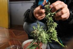 La cosecha de mujeres (ValVolanchina) Tags: cosecha cannabis marihuana