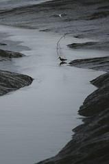 Feeding in low tide #wildlife #tejo #portugal (t3mujin) Tags: activity animal bird europe floodplain location nature places portugal pvoadesantairia ribatejo river tagus tejo vilafrancadexira water feeding t3mujinpack