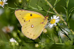 Not Quite Pink (martytdx) Tags: nj october riverton taylorwildliferefuge taylorsfarm birding migrationfall2016 insects butterfly sulphur orangesulphur coliaseurytheme malefemale whitesandyellows pieridae coliadinae colias small yellow ventral bmna