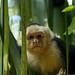 Macaco curioso