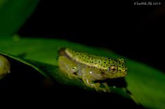 The golden eye (AkDExplorer) Tags: india macro eye nikon frog western endangered gliding tamron endemic froglet ghats lateralis rhacophorous