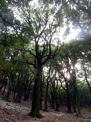 The forest where I run (egotoagrimi) Tags: sport forest oak ikaria aegean running september greece myworld randi radi holmoak hikingtrails  ikarianenigma nakedrun