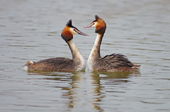 Great Crested Grebe Courtship 5 (Hugobian) Tags: city bird nature birds animal fauna garden dance weed display wildlife pair great lakes mating british presenting crested grebe welwyn courtship stanborough