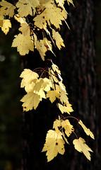 Rocky Mountain (Douglas) Maple in autumn (windyhill623) Tags: autumn colour fall montana autumncolours mapletrees fallcolours rockymountainmaple douglasmaple acerglabrum