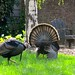 the wild turkeys about : sacramento, california (2015)