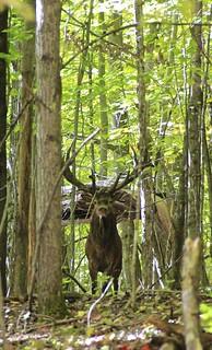 Quebec Elk & Red Stag Hunt 80
