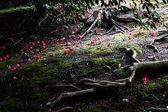 20150308_07_Kyoto (jam343) Tags: flowers flower japan spring kyoto shade  camellia tsubaki fushimi jonangu      jonangushrine