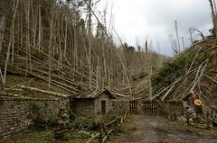 Hurricane damage - DSC_4464 (Francesco Terracciano) Tags: forest hurricane tuscany verna