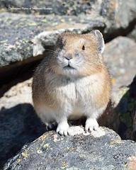 Checking (Photos of Southwest Montana) Tags: rabbit bunny nature rock spring nikon hare wildlife tamron pika bradchristensen dillonbeaverheadbeaverheaddeerlodgenationalforest photosofsouthwestmontana
