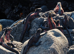 Cold Blood on Hot Rocks (ggppix) Tags: ocean red hot cold green water rock island lava islands ecuador blood marine rocks pacific body reptile verdigris lizard galapagos godzilla charlesdarwin lindblad blowhole iguana punta hood algae temperature intertidal isla chill zone equatorial equator archipelago alga nationalgeographic standbyme espanola immobilized suarez paralysis espaola hypothermia chills coldblooded galpagos surez captureonepro originofspecies amblyrhynchuscristatus voyageofthebeagle fujifilmxpro1 garyglenprice ulvalobata fujinonxf18135f3556rlmoiswr bbking