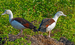 Rajah Shelducks (Burdekin Duck) (Tadorna radjah).01 (geoff.
