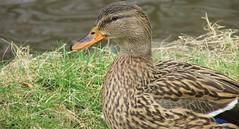 Lady duck. (Steven Ruffles) Tags: birds duck mallard