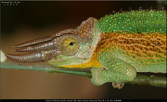 3/18/2015 CTJJ1 Male Chamaeleo Trioceros Jacksonii Jacksonii (Tarantula Fan) Tags: 3 male kenya lizard mount chameleon jacksons horned chamaeleo jacksonii threehorned trioceros ctjj1