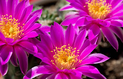 Hedgehog Cactus Flower (michaelmoriartyphotography) Tags: pink cactus flower petals desert bloom blooming