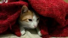 cucu?! (PhoToRCh) Tags: life red pet cats pets white love animal animals cat puppy live gatto amore compagnia animale cucciolo micio gattino