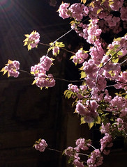 IMG_20150418_230251 (edelvia14) Tags: fleur fleurs rouen printemps nexus floraison