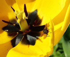 Greenbottle Fly on a Yellow Tulip (jdathebowler Thanks for 1.20 Million + views.) Tags: yellowtulip greenbottlefly naturescall fantasticnature yellowyelloweverywhere greenbottleflyonyellowtulip