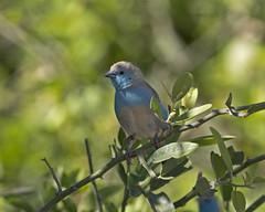Blue-breasted Cordonbleu (Uraeginthus angolensis) (Lip Kee) Tags: uraeginthusangolensis bluebreastedcordonbleu