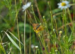 Schmetterling Sommerwiese (rieblinga) Tags: sommer wiese kleiner fuchs schmetterling blten