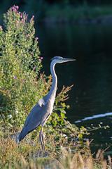 Grey Heron (EugeneEverson) Tags: bird canal cheshire widnes spikeisland greyheron
