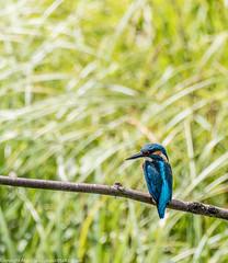 9Q6A2597 (2) (Alinbidford) Tags: heron kingfisher muteswan moorhen greyheron brandonmarsh alancurtis pairofkingfishers alinbidford