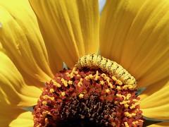20080918_02 (carlos mancilla) Tags: insectos orugas caterpillars olympussp570uz