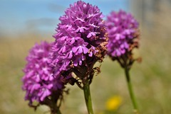 Pyramidal Orchid detail (robbierunciman) Tags: orchid pyramidal dungeness flower wildflowers grassland kent kentcoast englishchannel roundhouse withering flowered seasonsend