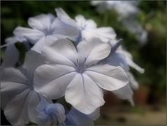 (Tlgyesi Kata) Tags: plumbago lomvirg botanikuskert botanicalgarden fvszkert budapest withcanonpowershota620 summer