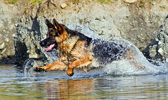 German Shepherd or Alsatian  - The water wolf !! (Mid Glam Sam1) Tags: germanshepherd alsatian water wave enjoyment splash dog canine playing