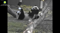 2016_07-15g (gkoo19681) Tags: nationalzoo stealing meixiang beibei sharingiscaring ccncby treatring