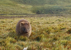 Common Wombat (Vombatus ursinus) (Vive Naturaleza) Tags: mountain animal australia tasmania marsupial wombat ursinus cradle diprotodontia vombatus