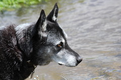 Sweet B (Brandi Bonde) Tags: rescue dog grey mutt canine bordercollie adopt rescuedog adoptdontshop
