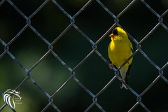 American Goldfinch on a Chain-link Fence (RGL_Photography) Tags: birds us newjersey unitedstates wildlife monmouthcounty jerseyshore ornithology mothernature gardenstate americangoldfinch oceanport walltownship wildlifephotography allairestatepark nikond500 allairevillage easterngoldfinch spinustristis granivore nikonafs200500mmf56eedvr