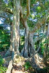 SonTra 800+ year old Banyan (Fig Tree) Tree (Undiscovered Gilfillan) Tags: banyantree figtree nature forest