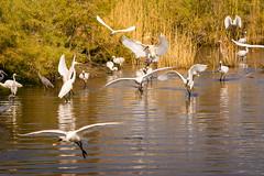 Spoonbills and others (malc1702) Tags: spoonbills greategret egret greyheron heron birds nature migration migratorybirds birdsinwater birdsinflight nikond7100 tamron150600 water sunlight