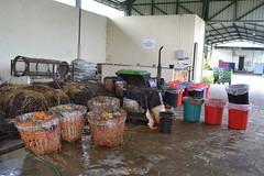 DSC_0052 (mertenad) Tags: swm bsf indonesia 2016 june composting wastesupply