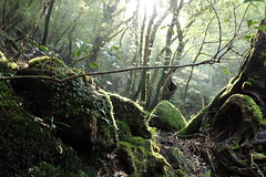Mere echoes of the stream (lilacandhoney) Tags: voyage wood travel winter mountains tree green nature colors beauty japan misty forest river asian japanese moss woods asia stream moments branch natural echoes journey cedar memory mysterious ravine asie moment yakushima japon