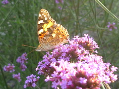 Vanessa cardui (Jrg Paul Kaspari) Tags: wincheringen moderngarden garten garden sommer summer 2016 vanessa cardui vanessacardui distelfalter falter schmetterling butterfly