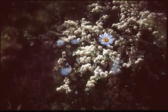 (bensn) Tags: pentax lx fa 31mm f18 limited film slide velvia 100 at200 japan multiexposure flowers white