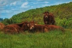 Chilling cows (mheckerle) Tags: cow kuh khe 2016 natur farm nature animals landscape landschaft landwirtschaft rinder hessen hesse germany