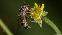 IMG_5607 (Joel-Spencer) Tags: flowers macro canon colours wildlife sigma insects bugs critters 105 700d