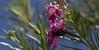 Enticed (harefoot1066) Tags: bignoniaceae tecomeae chilopsis chilopsislinearis desertwillow coleoptera polyphaga scarabaeidae cetoniinae gymnetini cotinis cotinismutabilis greenfruitbeetle figeaterbeetle