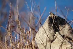 Prairie Lizard (kaptainkory) Tags: herp reptile squamata squamate lizard lizardsceloporusconsobrinus prairie fence basking sunning rock male ar unitedstatesofamerica usa