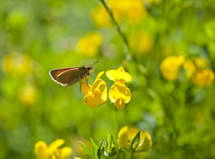 Small Skipper Butterfly (kevinwolves) Tags: smallskipperbutterfly smallskipper butterfly insect nature wildlife baggridgecountrypark baggeridge kevinwolves nikon nikond300 nikkor55200mm closeup