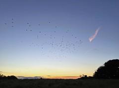 Murmur (Biggleswade Blue) Tags: highquality starling starlings murmur murmuration bird birds royal society protection bishop auckland england dusk