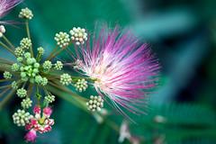 The Silicon Valley of Nature (Pensive glance) Tags: flower plant fleur plante albizia albiziajulibrissin